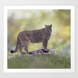 Florida panther or cougar on a log Art Print