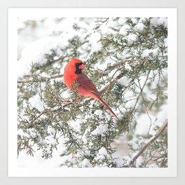 Cardinal on a Snowy Cedar Branch (sq) Art Print