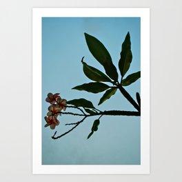 Plumeria Pakalolo Art Print