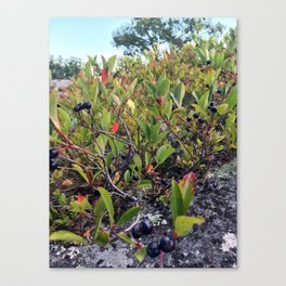 Wild Maine Blueberries on Pleasant Mountain (1) Canvas Print