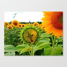 Sunflower Prepares to Unfold Itself Canvas Print