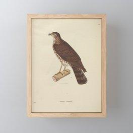 falco cuculoides3 Framed Mini Art Print
