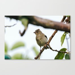 Young Chaffinch Songbird Bird Perching on a Branch - Wales, UK Canvas Print