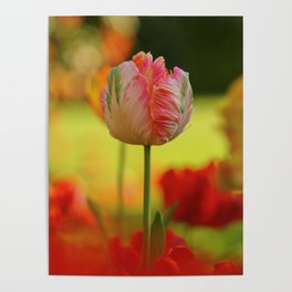 Tender Young Parrot Tulip in the Garden in Spring Poster