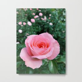 Gorgeous Pink Rose Metal Print