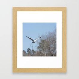 Ring billed gull Framed Art Print