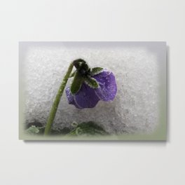 Pansy in snow Metal Print