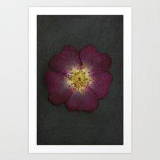 Pressed Wild Rose Art Print