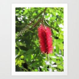 Australian Bottle Brush Print | Red Native Flower | Barwon Heads Art Print