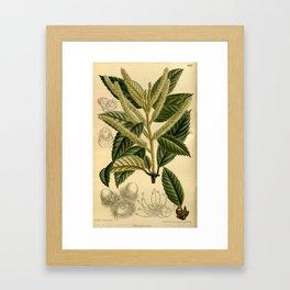 Quercus densiflora Framed Art Print