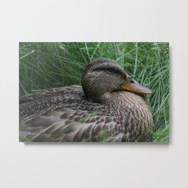 Brown Duck Metal Print