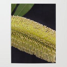 Banksia Yellow Poster