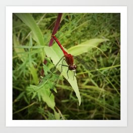 Red Meadowhawk Dragonfly Art Print