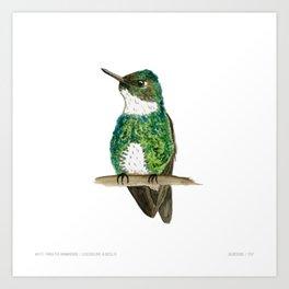 White-throated Hummingbird Art Print