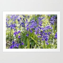 Spring Bluebells Art Print