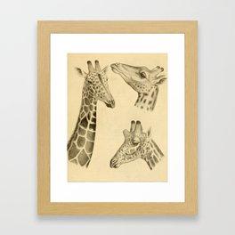 Vintage Illustration of a Giraffe (1908) Framed Art Print