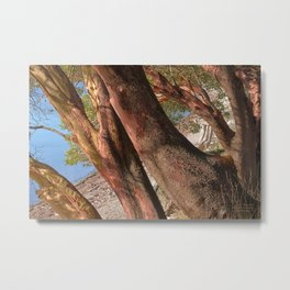 MADRONA TREES REACHING OVER THE BEACH Metal Print