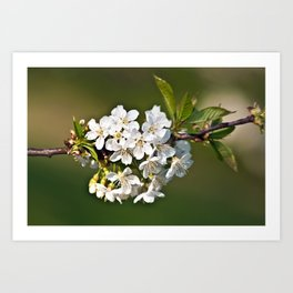 White Apple Blossoms Art Print