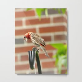 Finch: A Thinking Pose Metal Print