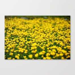 Small yellow wild flowers in the green field Canvas Print