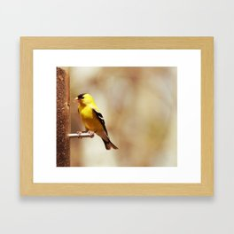 American Goldfinch Collecting Seeds from a Feeder Framed Art Print