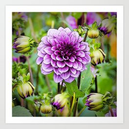 LILAC PURPLE DAHLIA FLOWERS & BUDS Art Print