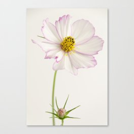 Sensation Cosmos White and Pink Canvas Print