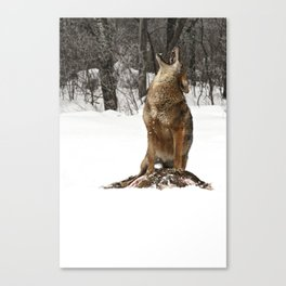 Wiley The Coyote Canvas Print