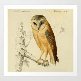 Naturalist Barn Owl Art Print
