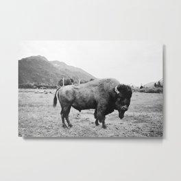 Alaska Bison Metal Print