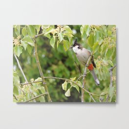 Red-Whiskered Bulbul -- 2 Metal Print