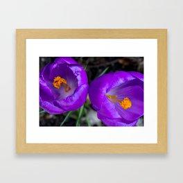 Deep purple and orange crocuses Framed Art Print
