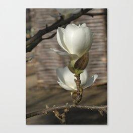 Yulan-Magnolia -2- Canvas Print