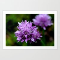 Chive Blossoms Art Print