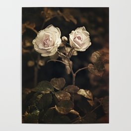 Two pale roses in the garden. Poster