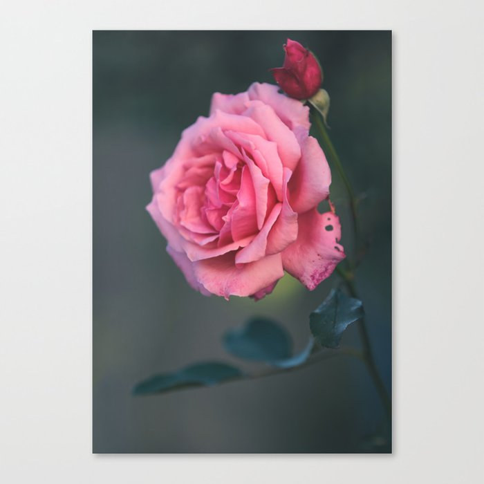 Rose - Pink Beauty Canvas Print