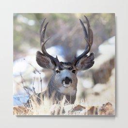 Watercolor Deer, Mule 02, RMNP, On Guard Metal Print