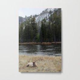 Elk in Yellowstone Metal Print