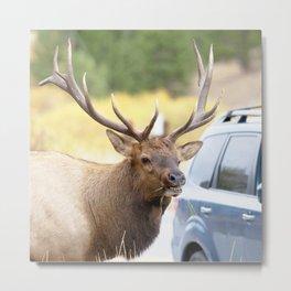 Watercolor Elk Bull 08, Estes Park, Colorado, Closeness Metal Print