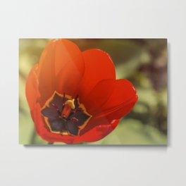 red tulip blossom Metal Print