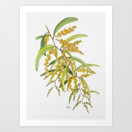 Australian Wattle Flower, Illustration Art Print
