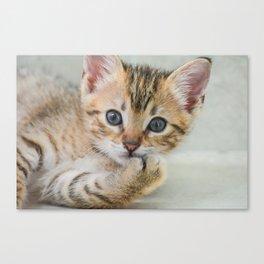 Smirking kitten Canvas Print