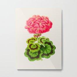 Vintage Botanical Illustration Beautiful Pink Flower Lush Green Leaves Scientific Floral Drawing Metal Print