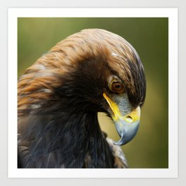 Golden Eagle Focussed | Bird | Raptor | Wildlife | Photography Art Print
