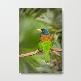 Exotic colorful bird great barbet sitting on a branch Metal Print