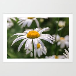 White daisy with rainy droplets Art Print