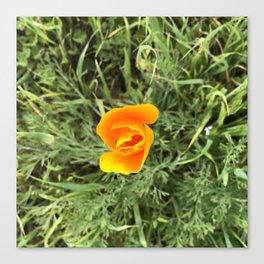 Shy California Poppy Canvas Print