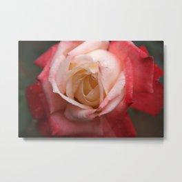 Rose - Red & White Metal Print