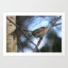 Robin in birch Art Print