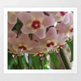 wax flower and dew Art Print